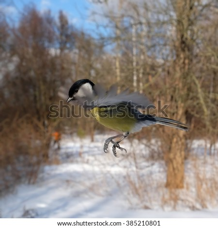 Flying Great Tit (Parus major) in winter forest. Moscow region, Russia - stock photo