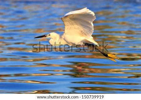 flying Great White Egret  - stock photo