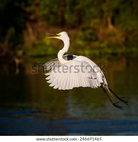 Flying great white egret in Florida - stock photo
