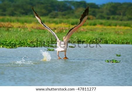 flying great white pelican above lake Naivasha. Africa. Kenya - stock photo