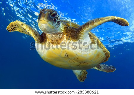 Flying green turtle - stock photo