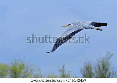 Flying grey heron (Ardea cinerea) in Vilkovo National Reserve - stock photo