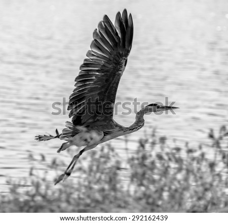 Flying Grey Heron (Ardea cinerea) - Kibbutz Maagan Michael, Israel (black and white) - stock photo