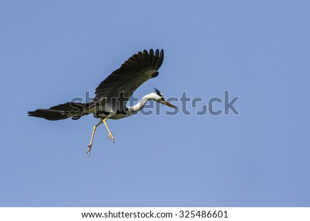 Flying grey heron isolated in blue sky, Sri Lanka - stock photo