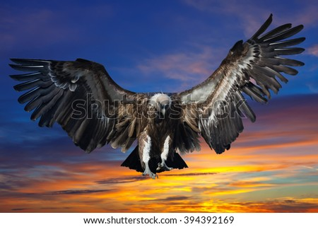 Flying griffin against sunset   sky background