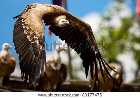 Flying Griffon vulture - stock photo
