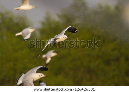 flying Gull, Migrate Gulls flying with mangrove forest background - stock photo