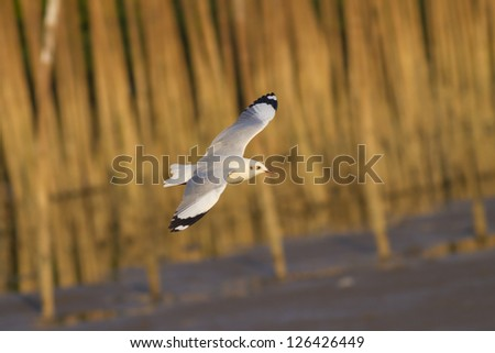 Flying Gull, Migration gull flying over sea with bamboo bench behind