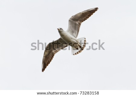 flying gull on the sky - stock photo