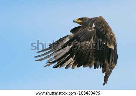 Flying Hawk - stock photo
