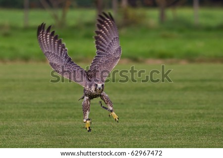 flying hawk frontal in the green - stock photo