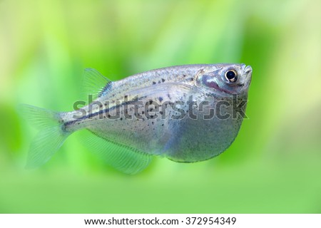 Flying heavily-keeled body fish. Gasteropelecus sternicla. Freshwater hatchetfishes. Detailed silver fish. Green plants soft background. macro.