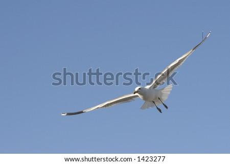 Flying Herring Gull in Utah - stock photo