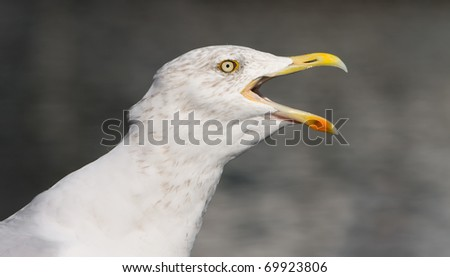 flying herring gull on a blue sky background (Moewe) - stock photo