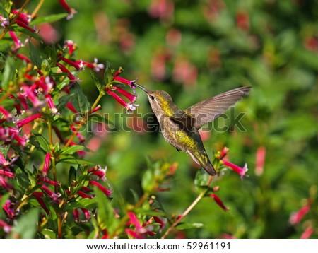 Flying Hummingbird - stock photo