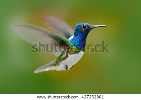 Flying hummingbird. Action scene from nature, hummingbird in fly. Hummingbird in the forest. Flying blue and white hummingbird White-necked Jacobin. Hummingbird from Ecuador, clear background. - stock photo