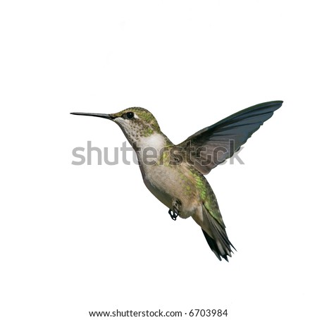 Flying Hummingbird isolated on white - stock photo