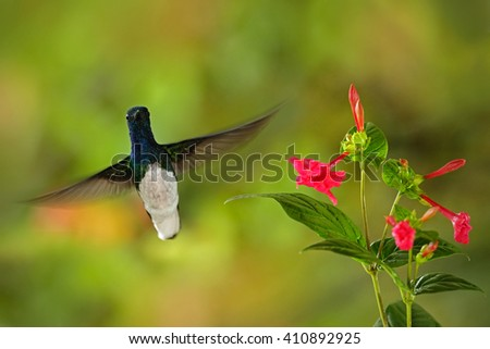 Flying hummingbird White-necked Jacobin next to pink red flower. Hummingbird Florisuga mellivora, from Rancho Naturalista in Costa Rica, Hummingbird in the nature habitat. Hummingbird in the action. - stock photo