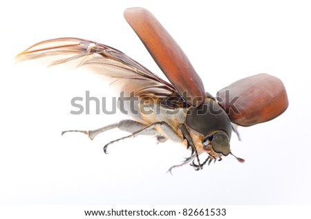 flying insect scarab may beetle isolated on white - stock photo