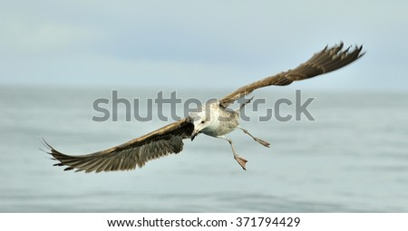 Flying Juvenile Kelp gull (Larus dominicanus), also known as the Dominican gull and Black Backed Kelp Gull. False Bay, South Africa  - stock photo