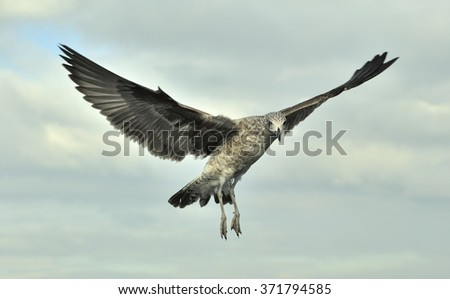 Flying Juvenile Kelp gull (Larus dominicanus) in flight. Also known as the Dominican gull and Black Backed Kelp Gull. Natural Sky Background. False Bay, South Africa   - stock photo
