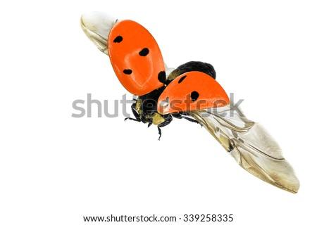 Flying ladybug isolated on a white background - stock photo