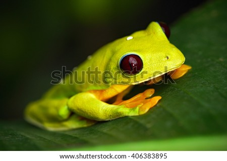Flying Leaf Frog, Agalychnis spurrelli, green frog sitting on the leaves, tree frog in the nature habitat, Corcovado, Costa Rica