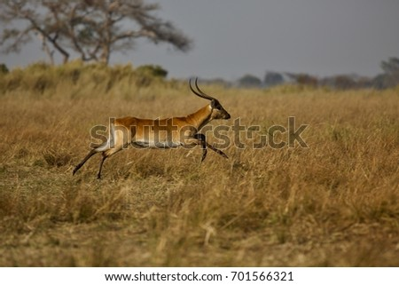 Flying Lechwe
