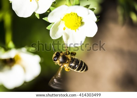 flying little bee on the flower - stock photo