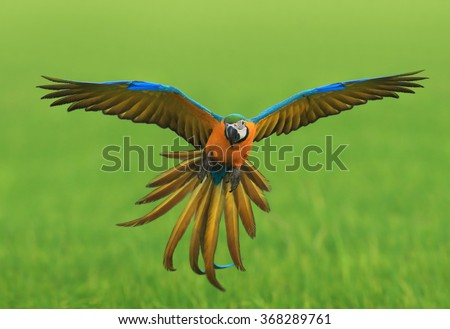 flying macaw,beautiful bird - stock photo