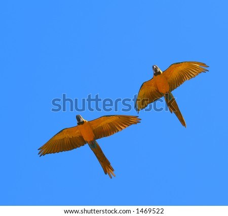 flying macaws - stock photo