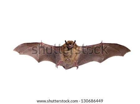 Flying Northern bat (Eptesicus nilssonii), isolated on white. - stock photo