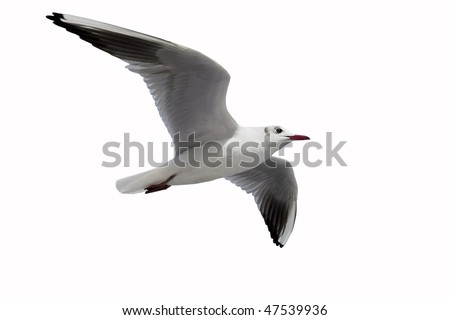 Flying One seagull isolated on the white background. - stock photo