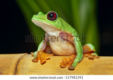 flying or gliding tree frog Agalychnis spurrelli lives in Amazon rain forest of Ecuador Colombia Panama and Costa Rica tropical nocturnal treefrog and endangered amphibian - stock photo