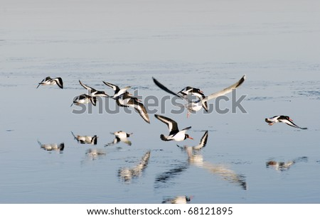 Flying oystercatchers