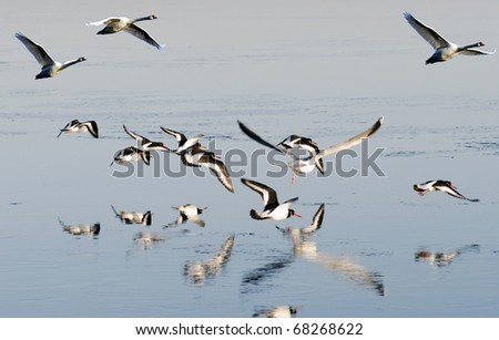 Flying oystercatchers, swans and one seagull
