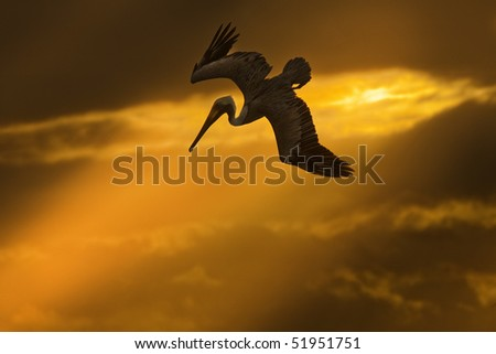 Flying pelican at sunset looking for its pray - stock photo