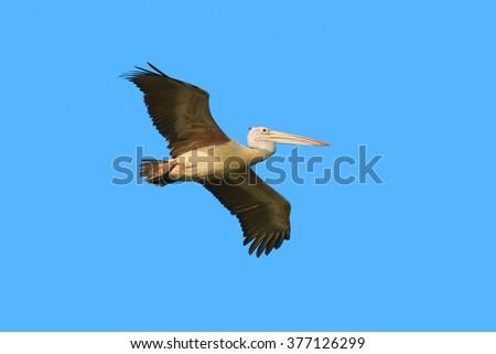 Flying Pelican bird against blue sky - stock photo