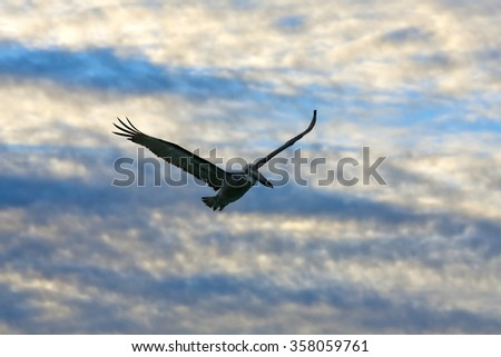 Flying pelican looking for its pray - stock photo