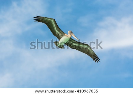 flying pelican, ready for fishing, Dominican Republic - stock photo