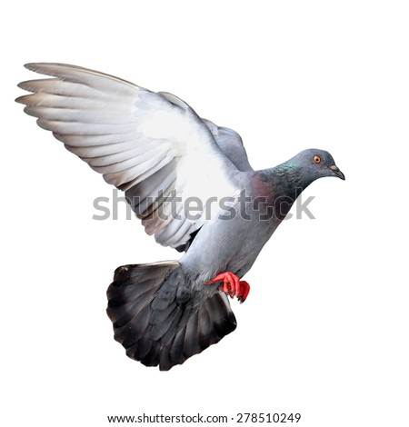 Flying pigeon isolated on white background - stock photo