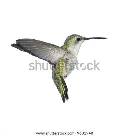 Flying Ruby-throated Hummingbird on white.