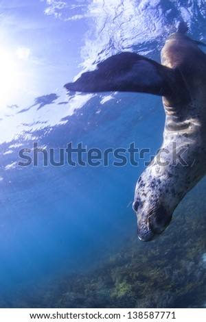 Flying sea lion - stock photo