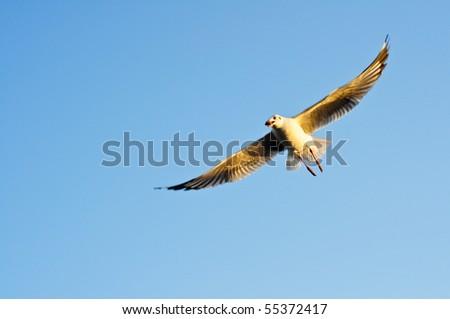 Flying seagull against blue sky. - stock photo