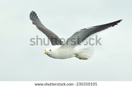 flying seagull. Flying kelp gull (Larus dominicanus), also known as the Dominican gul and Black Backed Kelp Gull. - stock photo