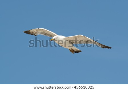 Flying Seagull isolated on the blue sky background - stock photo