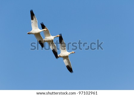 Flying Snow Goose, migratory bird - stock photo