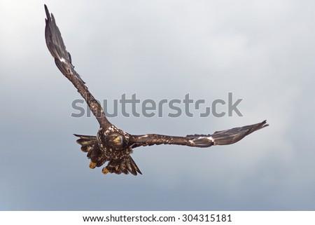 Flying Steller's Sea Eagle (Haliaeetus pelagicus)  - stock photo