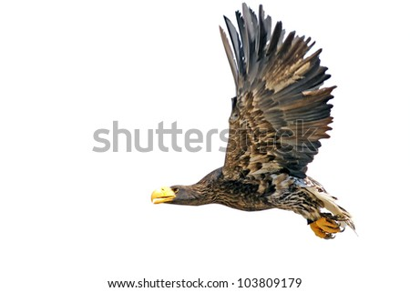 Flying Steller's Sea Eagle (Haliaeetus pelagicus) - isolated on a white background - stock photo