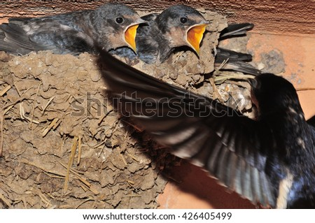 flying swallow coming to the nest with nestlings waiting - stock photo